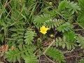 Zilverschoon plant Potentilla anserina.jpg