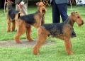 Airedale Terriers Flickr.jpg