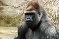 Gorilla 019.jpg