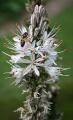 0 Asphodelus albus - Samoëns (2).JPG