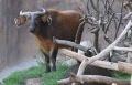 African Forest Buffalo.jpg