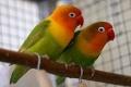 Agapornis fischeri couple.jpg