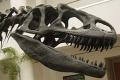 Az Allosaurus koponyája a San Diego-i Természetrajzi Múzeumban (San Diego Natural History Museum)