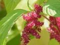 Bókoló disznóparéj (Amaranthus caudatus)