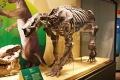 Barylambda faberi csontváz a Field Museumban