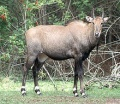 Nilgau antilop bika