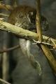 Callicebus donacophilus hugging tails.gk.jpg