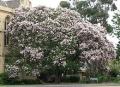 Virágzó fokföldi gesztenye (Calodendrum capense)