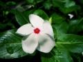 Catharanthus roseus white CC-BY-SA.jpg