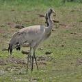 Common Cranes (Grus grus)- Immatures at Bharatpur I IMG 5656.jpg