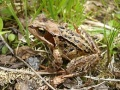 Common Frog(Norway).jpg