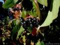 A gyümölcse