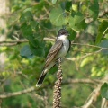 Eastern Kingbird BoyerChute.jpg