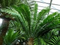 Encephalartos cf. natalensis a hamburgi pálmaházban
