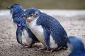 Fairy penguin.jpg