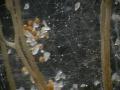 Gigaspora margarita