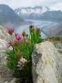 Glacier d'Aletsch avec fleurs.jpg