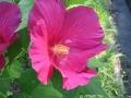 Hibiscus mutabilis6.jpg