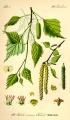 Közönséges nyír (Betula pendula)