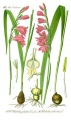 Illustration Gladiolus palustris1.jpg