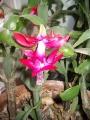 Karácsonyi kaktusz 2.jpg