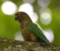 Maroon-bellied Conure (Pyrrhura frontalis) -on large branch.jpg