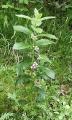 Melittis melissophyllum 120605.jpg