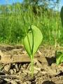 Kígyónyelv (Ophioglossum vulgatum)