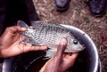 Oreochromis niloticus.jpg