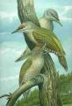 Picus canus - Grauspecht.jpg