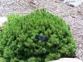 Pinus mugo valley cushion MN 2007.JPG