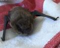 Pipistrellus pygmaeus.jpg