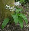 Medvehagyma (Allium ursinum)
