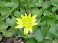 Salátaboglárka (R. ficaria)