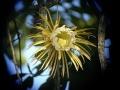 Selenicereus grandiflorus Rich Hoyer.JPG