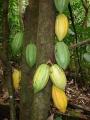 Kakaófa törzse érő gyümölcsökkel