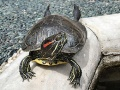 Tortoise1 cepolina.jpg