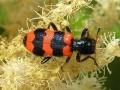 Szalagos méhészbogár tündérfürtön (Aruncus sylvestris)