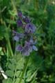 Vicia sepium1.jpg