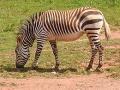 Zebra.zoo.750pix.jpg