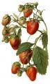 Termesztett szamóca (F. X ananassa)